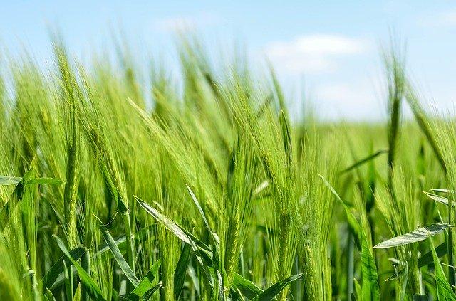 Barley 872000 640